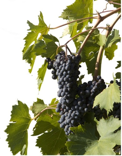 Merlot grapes, courtesy of stockfreeimages.com
