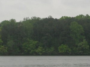 Long shot of bald eagle at Natchez Trace State Park in Tennessee